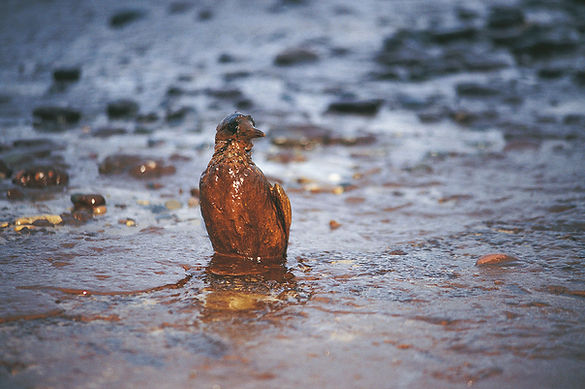 油にまみれた鳥