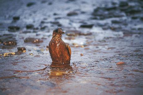 Bird Covered in Oil
