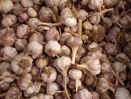 How to make garlic powder and garlic salt