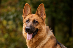 alsatian-dog-images