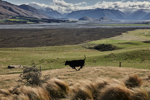 Beef cattle in the Southern Alps high country, New Zealand. Editorial photography by Aalasdair Jardine