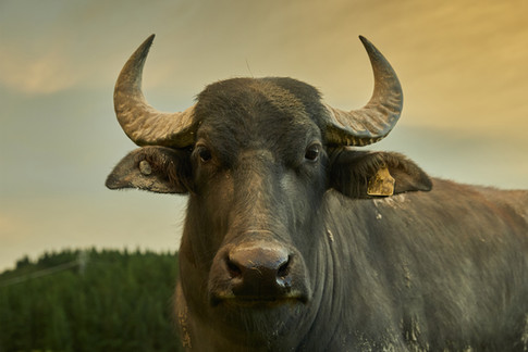 A mature buffalo cow shows it's impressive horns. Editorial photography by Alasdair Jardine. Canturbury, New Zealand.