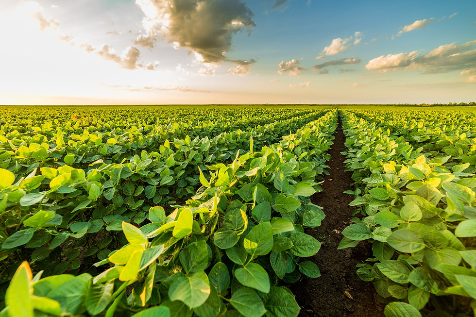 Green ripening soybean field, soybeans, seed sales, seed treatment, agriculture, green, farming, soil, dirt, plants, corn, agriculture