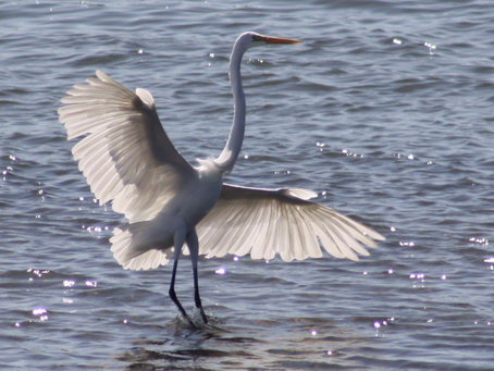Great Egret at San Diego River