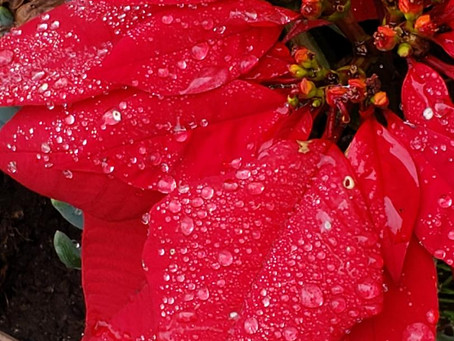 Dew Drops on Poinsettia