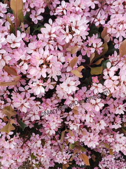Indian Hawthorn in Spring
