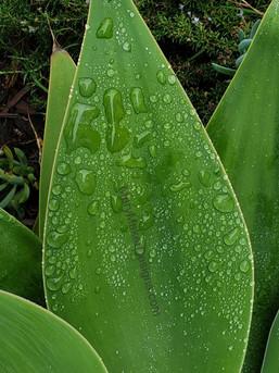 Dew on Succulent Leaf