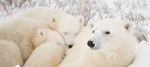 ARK_Arctic_polar_bear.jpg