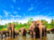 LK_Sri_lanka_elephants.jpg