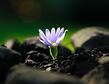 daisy on dark background