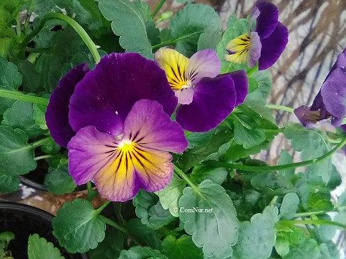 Viola cornuta 'Celestal™ Northern Lights' PP24591 Hardy Viola