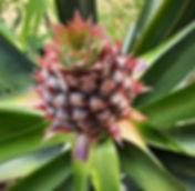 pineapple plant development.jpg