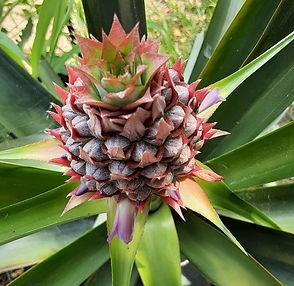 pineapple plant development.jpg