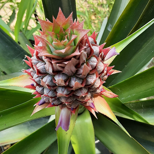 Pineapple plant 5 gal.pot in fruit, pick up only