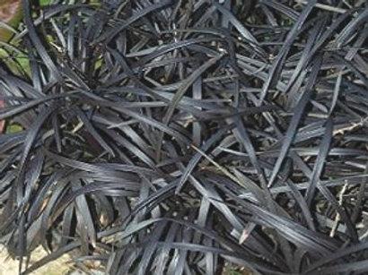 Black Mondo Grass, OPHIOPOGON p. 'Niger'