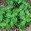 Thumbnail: Trillium luteum Yellow Trillium 100 each