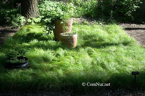Carex pensylvanica 25 each 3.5 inch pots free ship $4.89/pot
