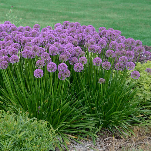 Allium Millenium 25 each 1 year bare root