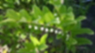 Variegated Solomon's Seal.png