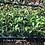 Thumbnail: Jasmine Asiatic Minima 120 each 2 inch pots