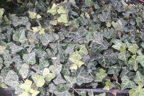 Baltic Ivy 100 each heavy rooted cuttings