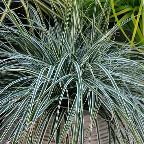 Carex EverColor Everest PP20955 50 each