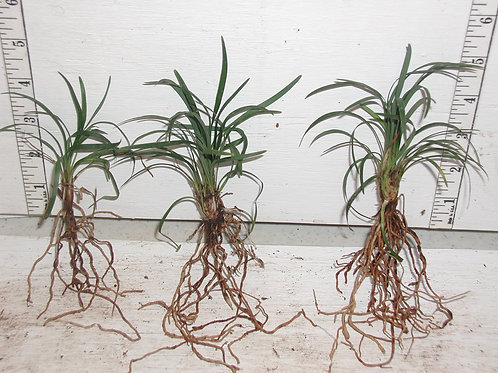 Bare root dwarf mondo grass, 50 each with free ship