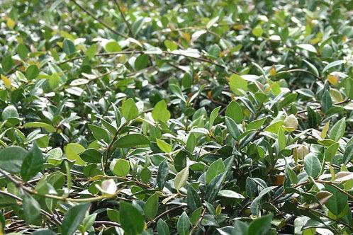Jasmine Asiatic Minima 120 each 2 inch pots