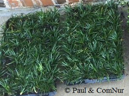 Dwarf mondo grass 2 trays of 72