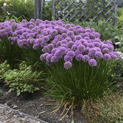 Allium 'Millenium' 6 each #1 gal. pot shipping included