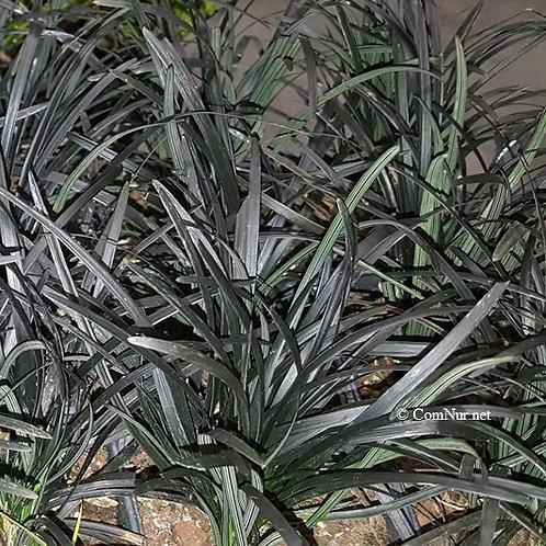 Ophiopogon p. 'Arabicus' 25, 3.5 inch pots