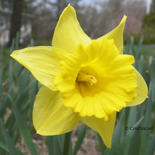 Dutch Master Daffodil 250 each 14/16 cm.