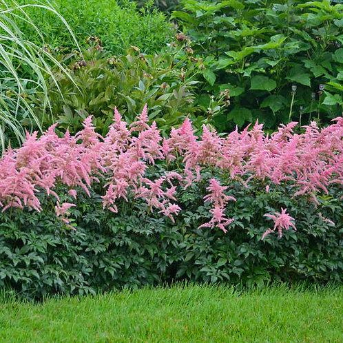 Astilbe 'Bressingham Beauty' 25 each  1yr. bare root