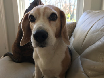 Rosie beagle