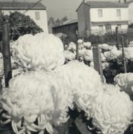 Coltivazione di crisantemi