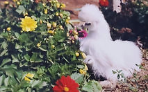 Chickens%203_edited.jpg