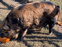 Pua%2520eating%2520pumpkin_edited_edited