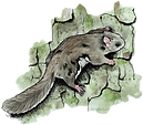 WV Northern Flying Squirrel