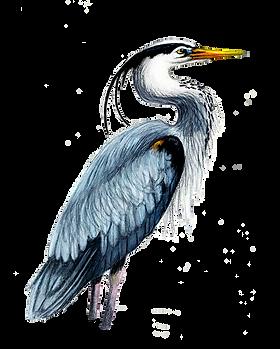 Illustration (Great Blue Heron) copy.png