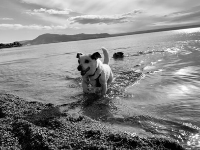 #jackrussells love the water.