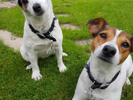 My beautiful Jack Russells or should I say #jackrussell