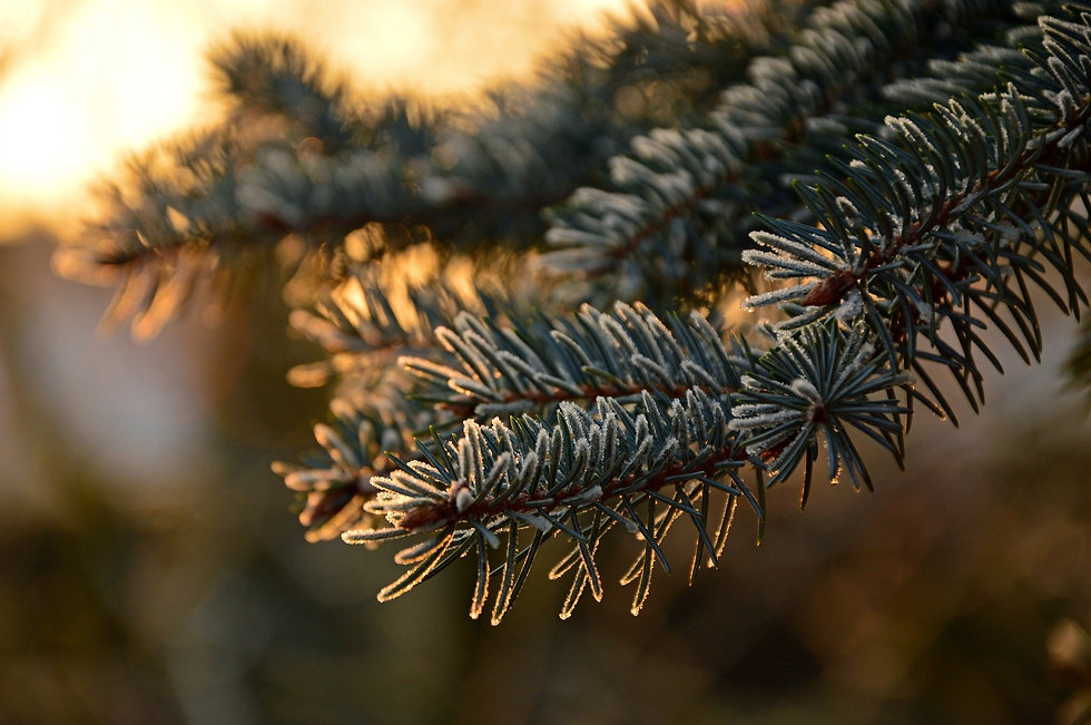 fir-tree-3952362_1920.jpg