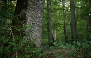 Forêt_de_Tronçais__2018_CWEISS.jpg