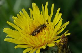 Fleur de pissenlit 25.04.21 C.WEISS.jpg
