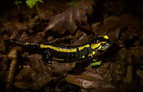 Salamandre Bourbonnais 04.18 C.WEISS.jpg