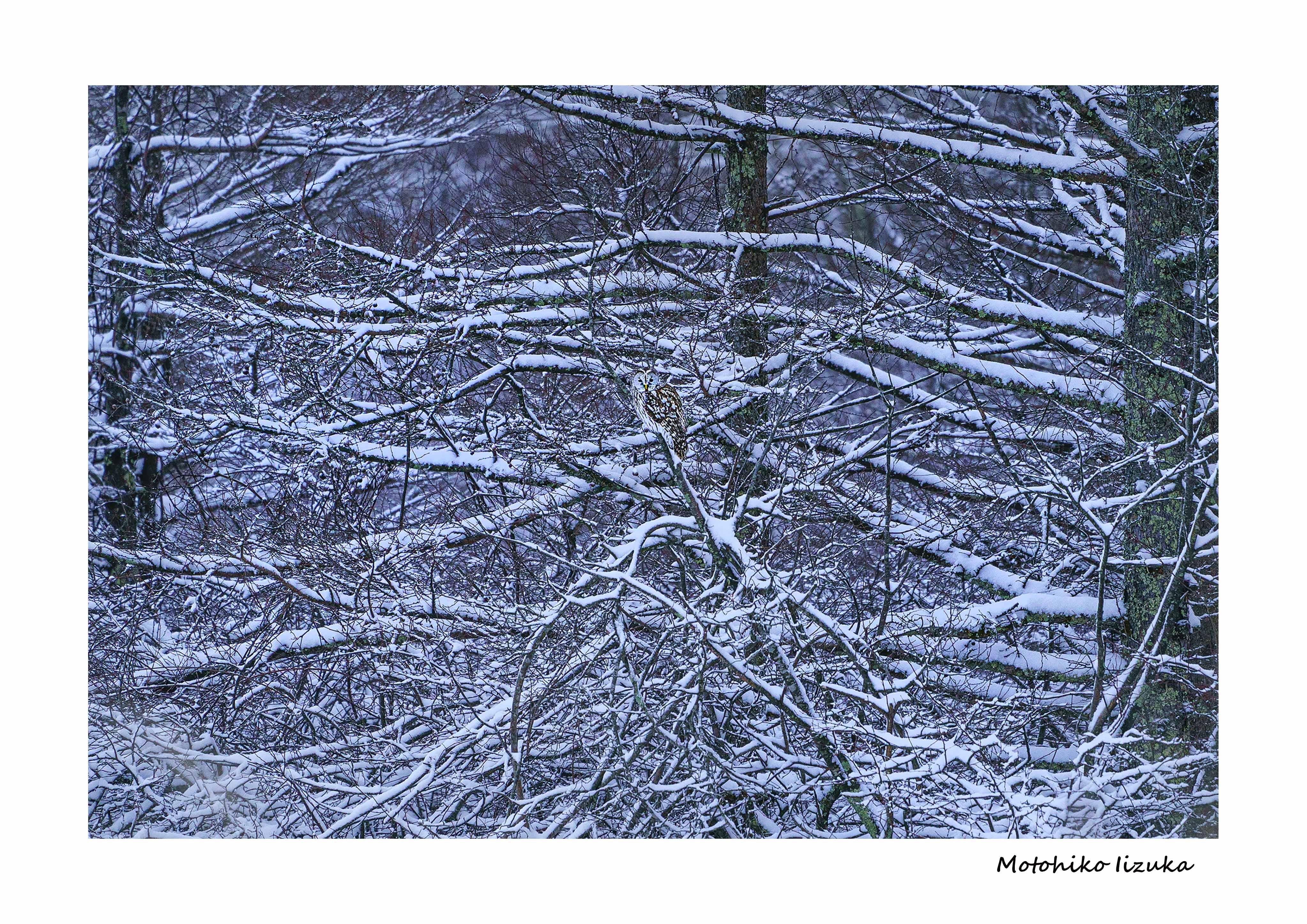 フクロウ 雪景色 A4