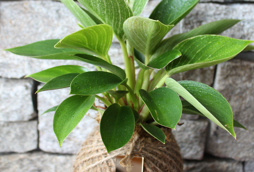 Philodendron (Green leaves With White Stripes) (Size: M)