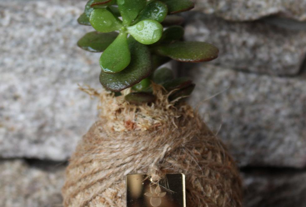 Jade plant (Size: XS)
