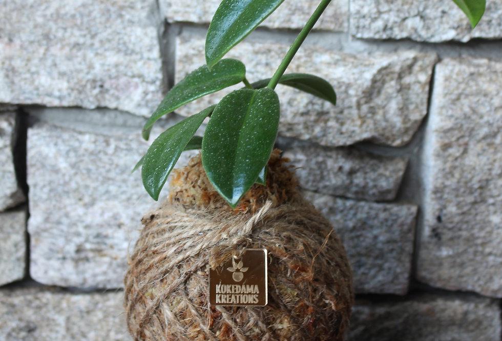 Hoya Wax Flower (Size: M)
