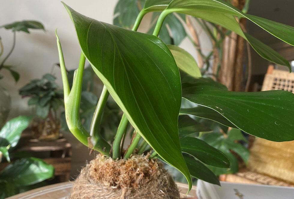 Dragon tail plant (Size: M)